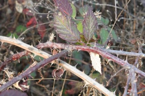 17 best images about brambles thorns and briar on
