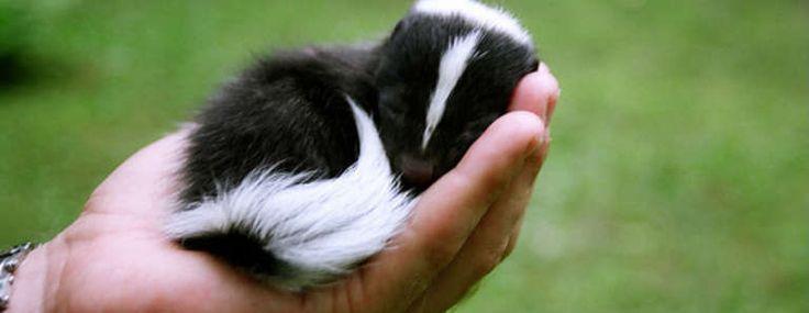 Who Knew bébé mouffettes pourrait être tellement adorable?