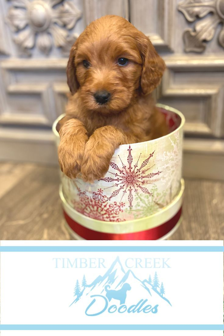 We Re Dedicated To Raising The Best Mini Goldendoodle And Mini Bernedoodle Puppies For In 2020 With Images Goldendoodle Puppy Goldendoodle Puppy For Sale Mini Goldendoodle Puppies