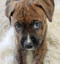 Boxer bulldog mix, i have a 4 month old, she has quite the personality!
