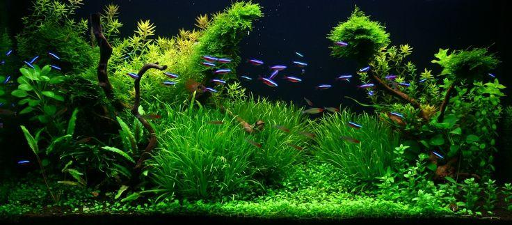 https://flic.kr/p/dhvGE2   planted aquarium   My aquarium 200L