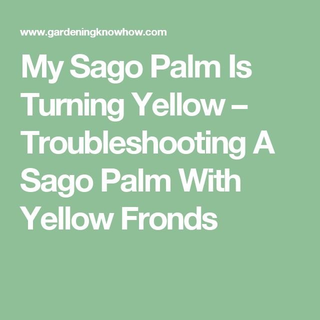 My Sago Palm Is Turning Yellow – Troubleshooting A Sago Palm With Yellow Fronds