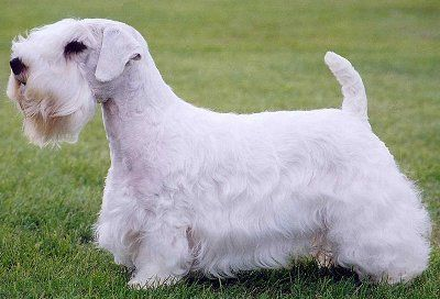 Sealyham Terrier - A one-man creation, the Sealyham is named for the Welsh estate of Captain John Edwardes, who developed the tough white terriers to go after badger, otter and fox. The dogs became well known for their working ability, and in 1908 a breed