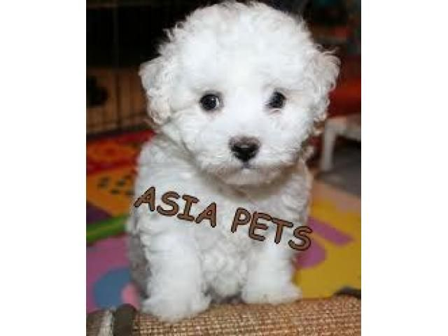 Bichon Frise Puppy Price In Chennai Bichon Frise Puppy For Sale