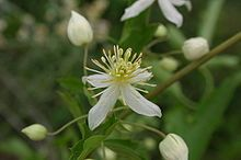 Clematis brachiata  commonly known as Traveller's Joy, is a hardy, deciduous South African liana belonging to the Ranunculaceae family.  It tends to clamber to the tops of trees and shrubs, sprawling over the crowns. Leaves are compound with from 1 to 7 leaflets. Attractive fragrant flowers appear in summer. Achenes are covered in fine silky hair.
