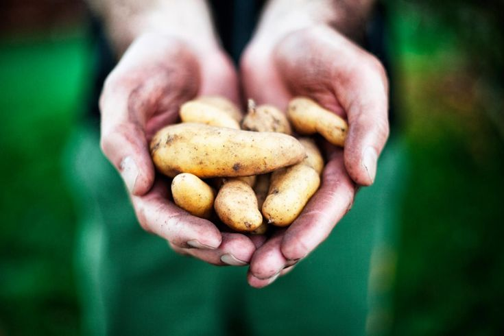 Att odla potatis i pallkrage