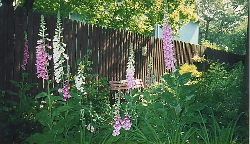 Foxgloves by the back fence.