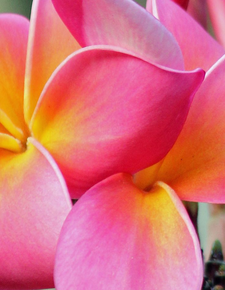 Yellow and rose plumeria flower close up. Flower photography by www.plantandflowerinfo.com #plumeria #flower