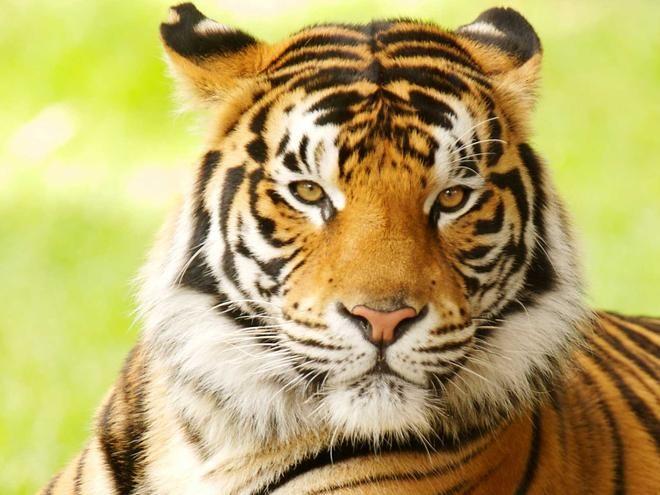 Bengal Tiger | Bengal Tiger | Species | WWF