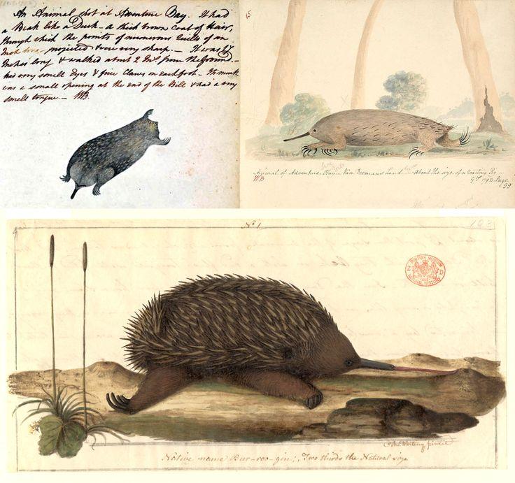 European explorers marvel at (then eat) 'porcupine anteater'