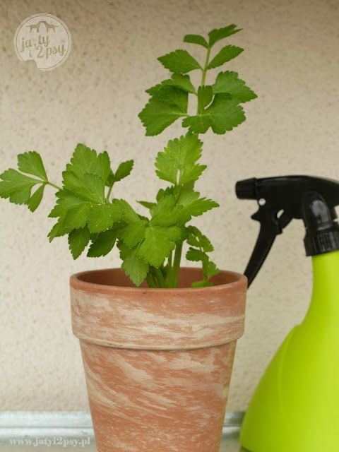 wyhoduj sobie seler  *  grow your own celery
