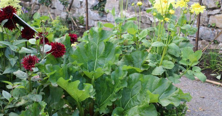 Der Rhabarber ist eine der beliebtesten Pflanzen im Nutzgarten. Mit Herbst-Rhabarber hat man die Möglichkeit, bis in den Oktober hinein von einer frischen Ernte zu zehren. Wir erklären, wie die besonderen Sorten entstanden sind.