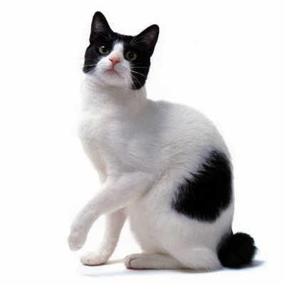 japanese bobtail cat historyclick the picture to read