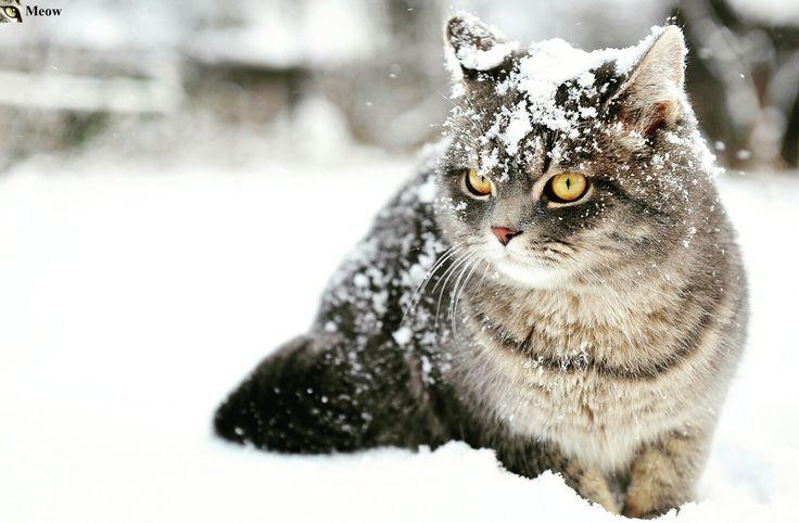 Winter cat https://www.youtube.com/c/WeMeow #cat #cats #wemeow #meow #catlife #cutecat #catlove #lovecats #gatos #gatti #koty #katze #chats #kitty #kitten #kittens #lovecat #funnycat #cateye #beautifulcat #nicecat #amazingcat #catlooking #catofinstagram #catsoftumblr #catstagram #instapets #instacat #pet #pets