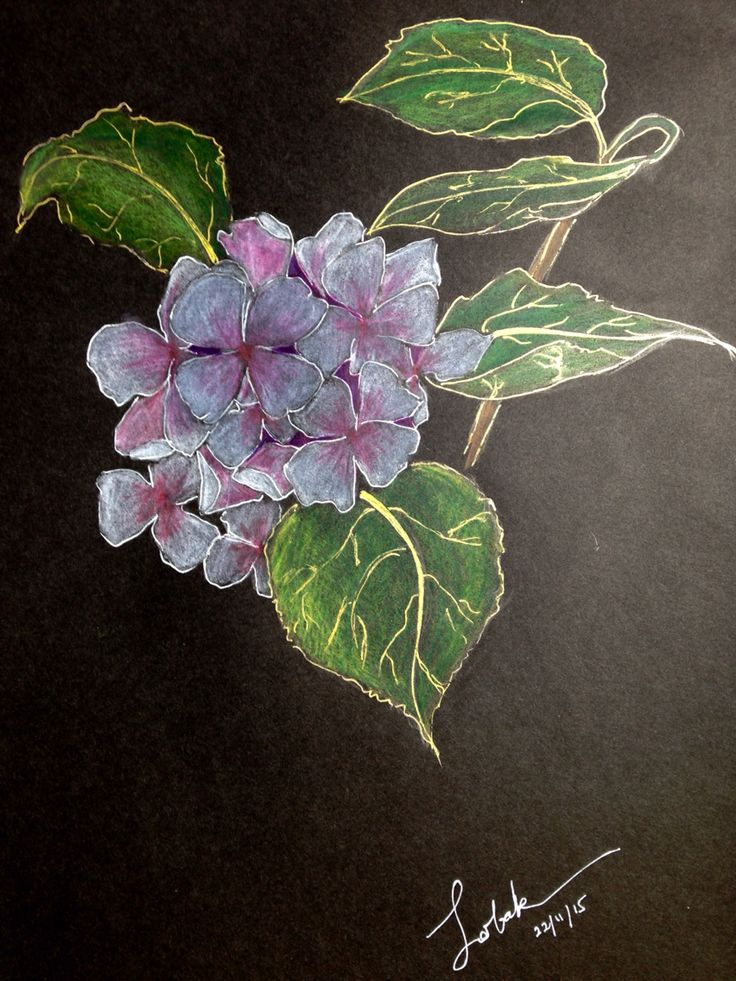 Hydrangea : color pencil and ink on black sketch paper