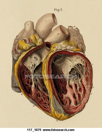 anatomie du coeur, 1879