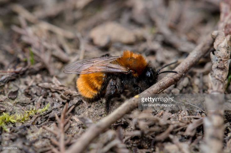 Close up of a Tawney mining bee (Andrena fulva) crawling on the ground.