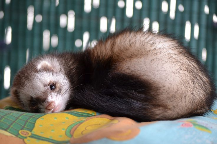 SIKANTISPETS: Give your ferret this nice ferret toy accessory kit! Try it here!