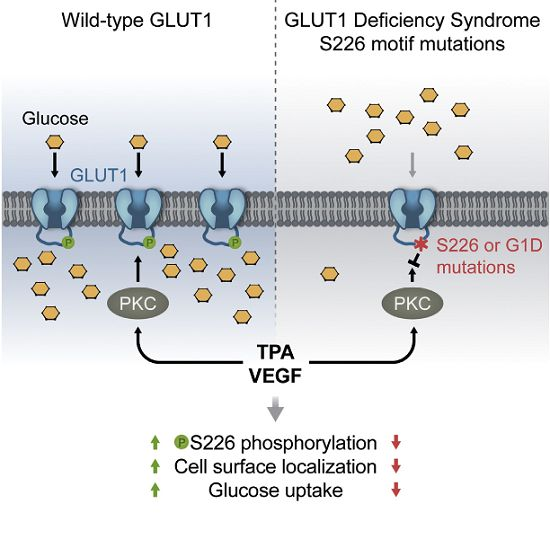 Researchers from UT Southwestern have gleaned a key cellular mechanism of how the body adjusts glucose levels, an important process that when abnormal can promote diabetes, cancer, and rare genetic diseases. The researchers determined that an enzyme called Protein Kinase C (PKC) can regulate whether more or less glucose should be transported into cells, serving as a kind of thermostat to ensure that proper levels are maintained.
