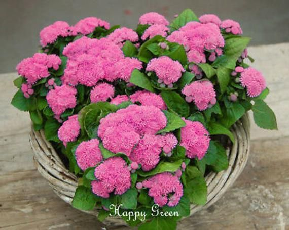 Floss Flower Dwarf Pink 2000 Seeds Ageratum Houstonianum In 2020 Seeds Flowers Flower Seeds