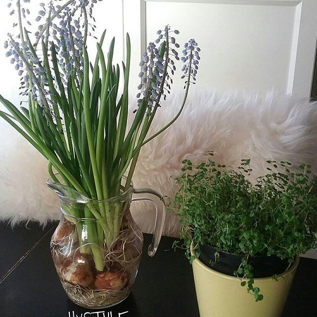 KOTI&SISUSTUS. IHANA KEVÄT  Kukkia ja vihreää Kotiin, Keittiöön...Iloa Silmille. Minä ESTEETIKKONA Tykkään&Nautin. SUOSITTELEN Lämpimästi. HYMY #koti #keittiö #sisustusinspiraatio #blogi #elämäntyyli #kevät #esteetikko #tykkään #minuntyyli ☺