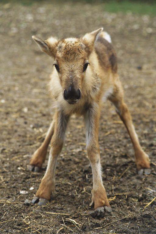 Reindeer images   Not All Deer Are Reindeer