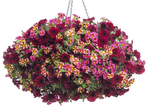 Let's Get Together | Superbells Cherry Star Calibrachoa, Superbells Holy Moly Calibrachoa, Supertunia Black Cherry Petunia
