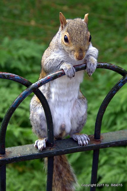 ~~Hallo I am here (Squirrel in the St. James Park London) by Bibi015~~