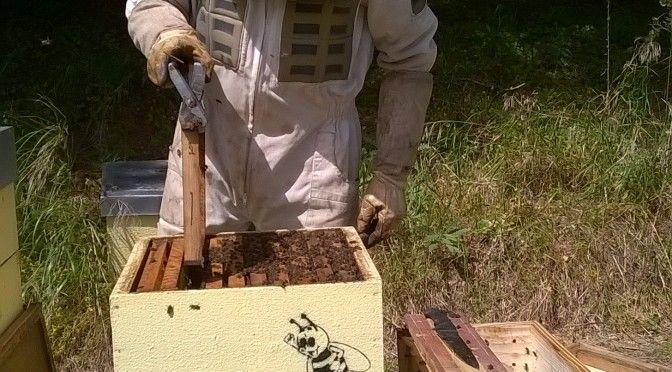 apicosta abelhas