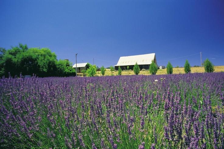 Lavandula Lavender Farm, Hepburn Springs Victoria