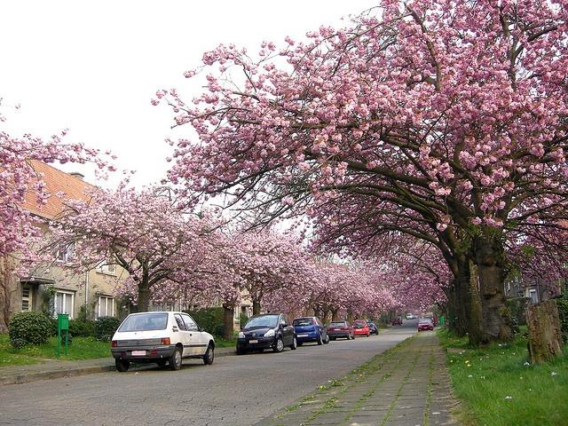 Cerisiers du Japon en fleur à Watermael-Boisfort, Bruxelles, Belgique