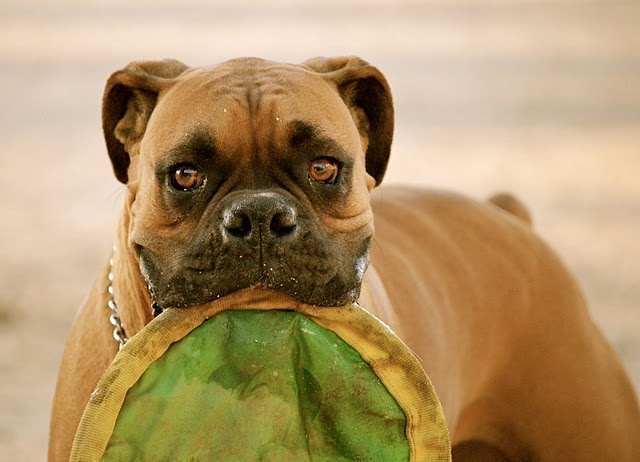 """Boxer - """"Sonny"""": Sonny, Boxer Butts, Boxer Dogs, Boxer Puppies, Dogs Boxers, Boxer Beautiful Eyes, Boxers Aka, Boxer Babies, Boxer Bliss"""