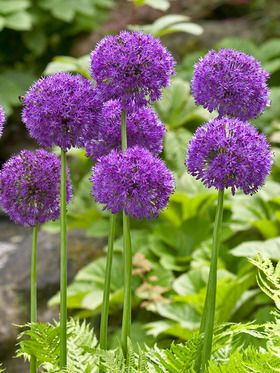 Allium 5 bulbs planted in front of bird bath 2016 - will multiply