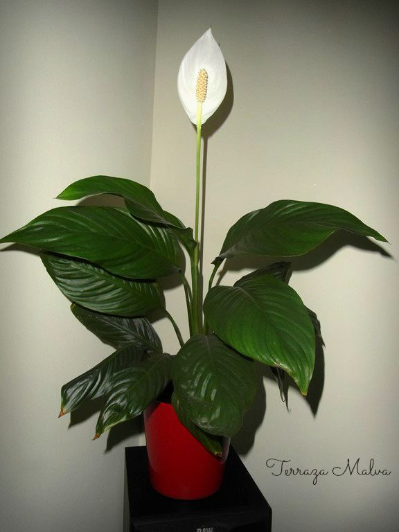 espatifilo es una de las plantas ms elegantes te gusta