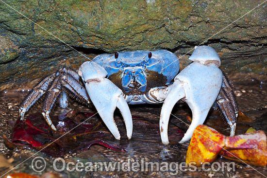 Blue Crab Discoplax hirtipes - Discoplax hirtipes