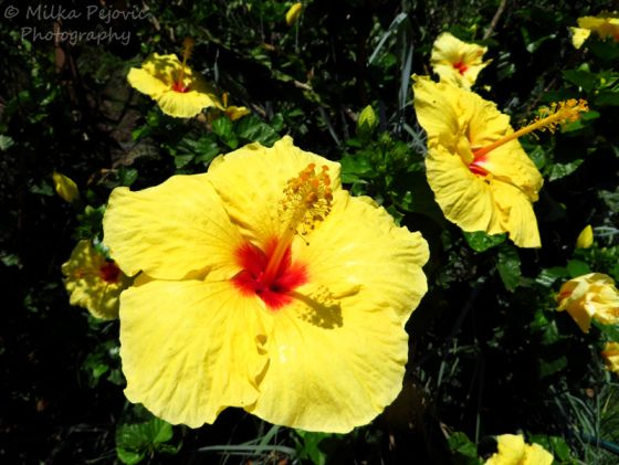 Yellow And Red Hibiscus Flowers Blooms With