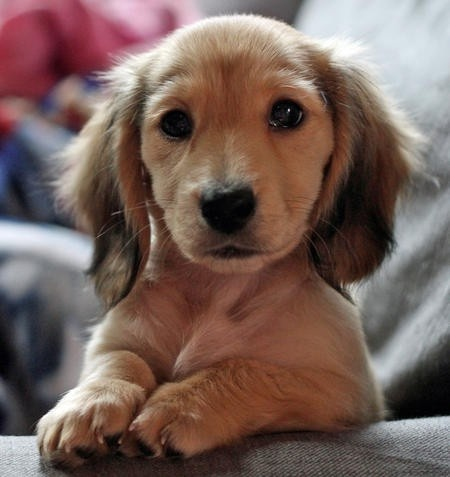 A miniature dachshund puppy Definitely needs to be short