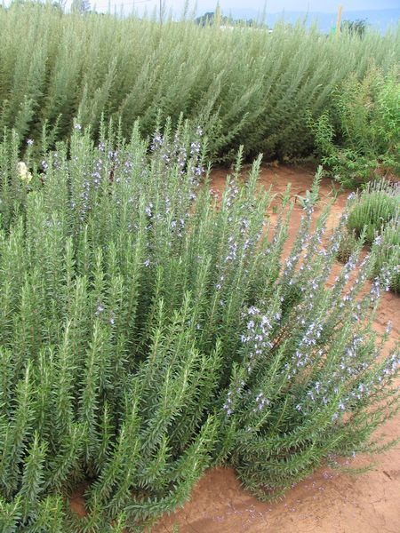 Common Name: ROSEMARY - TUSCAN BLUE, ITALIAN  Scientific Name: Rosmarinus officinalis 'Tuscan Blue'