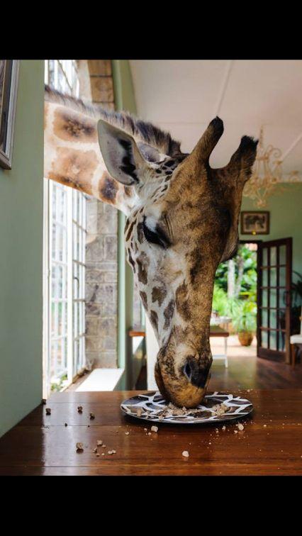 A giraffe eating from a giraffe-print plate!