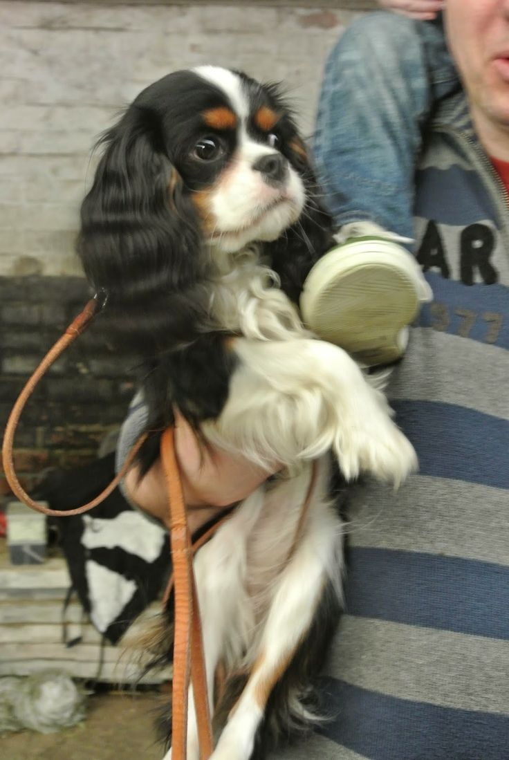 Miss Milla at Home, Tricolor Cavalier King Charles Spaniel