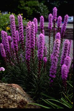 Liatris Kobold, 2-3', summer to fall, A native American wildflower excellent for border, meadow, or wild garden settings. Spikes of lavender flowers from summer into fall atop narrow ribbon foliage. Drought resistant, good for cut or dried flowers. Lavender flowers on multiple spikes seldom taller than 2 1/2'. One of the finest selections.