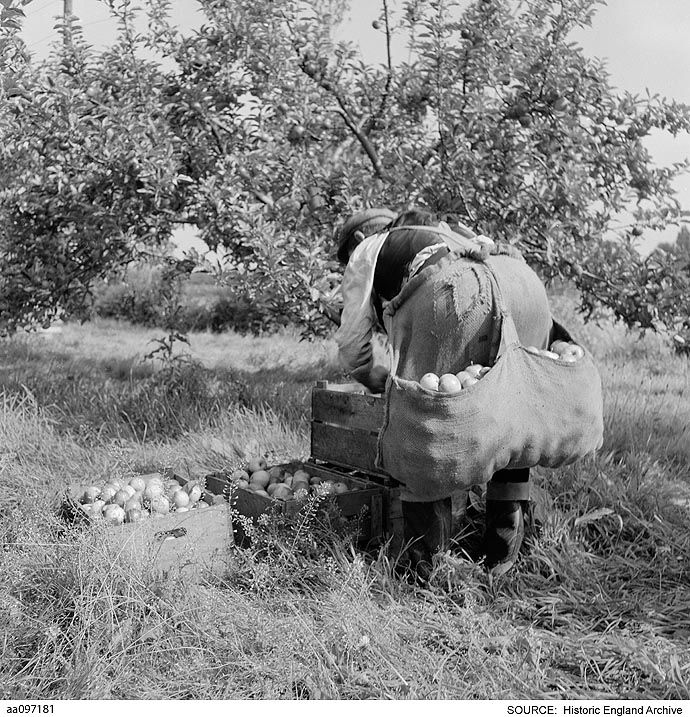 AA097181 A fruit picker transferring harvested apples from the apron around his waist, into crates in an orchard PlaceEngland.   Date1946 - 1999 Photographer: John Gay