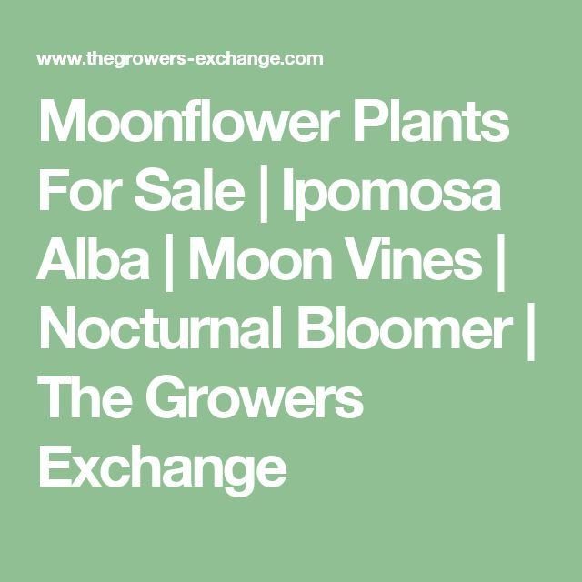 Moonflower Plants For Sale | Ipomosa Alba | Moon Vines | Nocturnal Bloomer | The Growers Exchange
