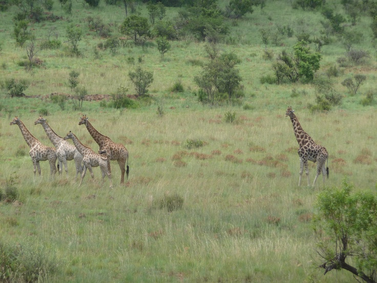 Giraffes of different colors & baby, Pilanesberg National Park, South Africa