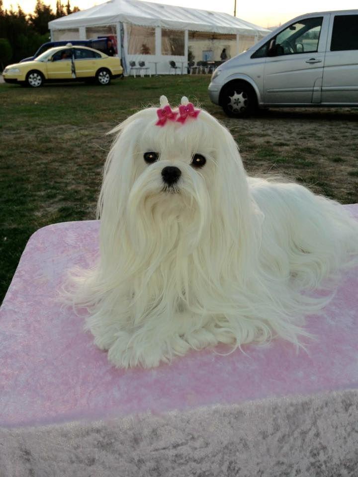 Pin By Hema S On Cute Dogs Maltese Dogs Maltese Maltese Breed
