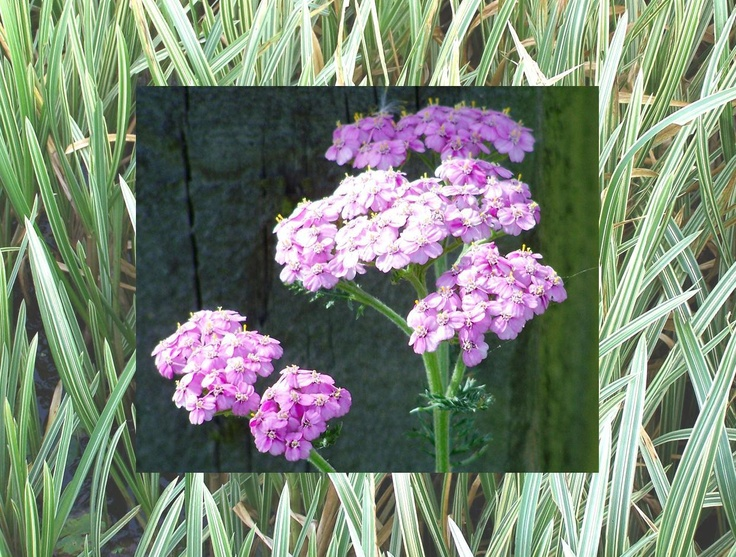 Calendar pix - August 2013 Vivid lilac-pink yarrow is unusual in the wild.  The background is the striped grass-like stuff that grows in the pond.