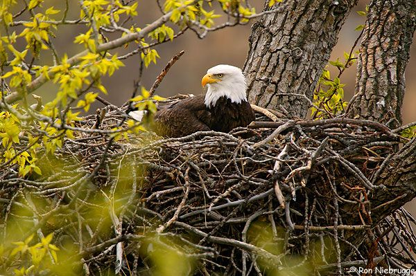 This is one of the adults Eagles sitting on a nest in early May