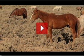 Wild horses are rounded up regularly and shipped to be slaughtered.