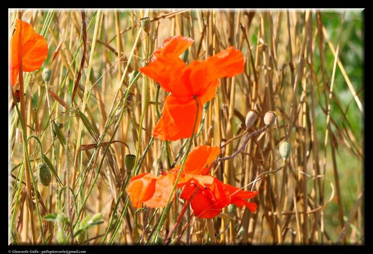 Poppies and wheat by Giancarlo Gallo