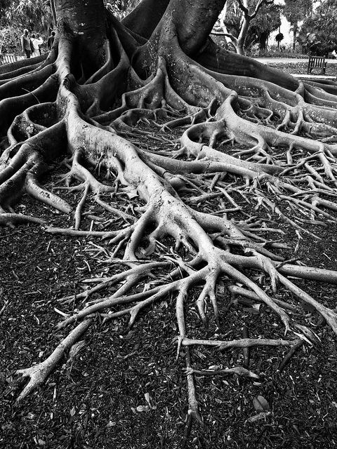 "The roots of this tree represents Nhamo in the way that just because he is getting the opporutnity to go and live with Babamukuru and live a high class life he will not stop being who he is. In pg 66 He says""So I shall go and live with Babamukuru at the mission. I shall no longer be Jeremiah's son"" this shows that he is ashamed of his family and that the first opportunity he gets of a better life he will take it and forget his family"